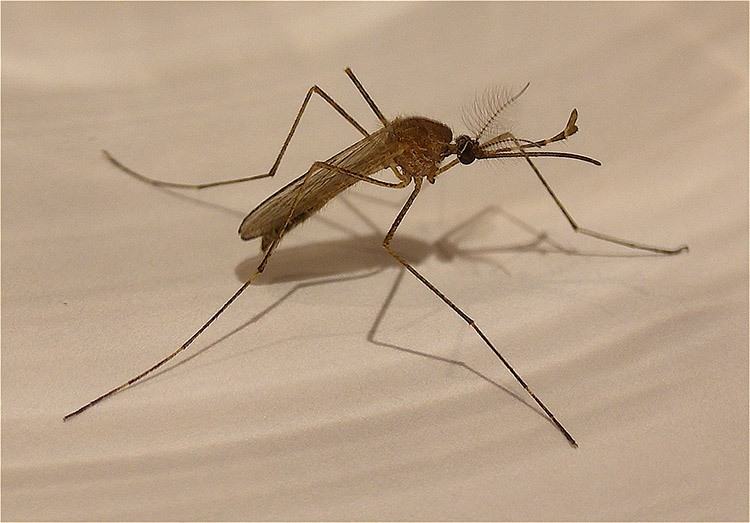 Mosquito